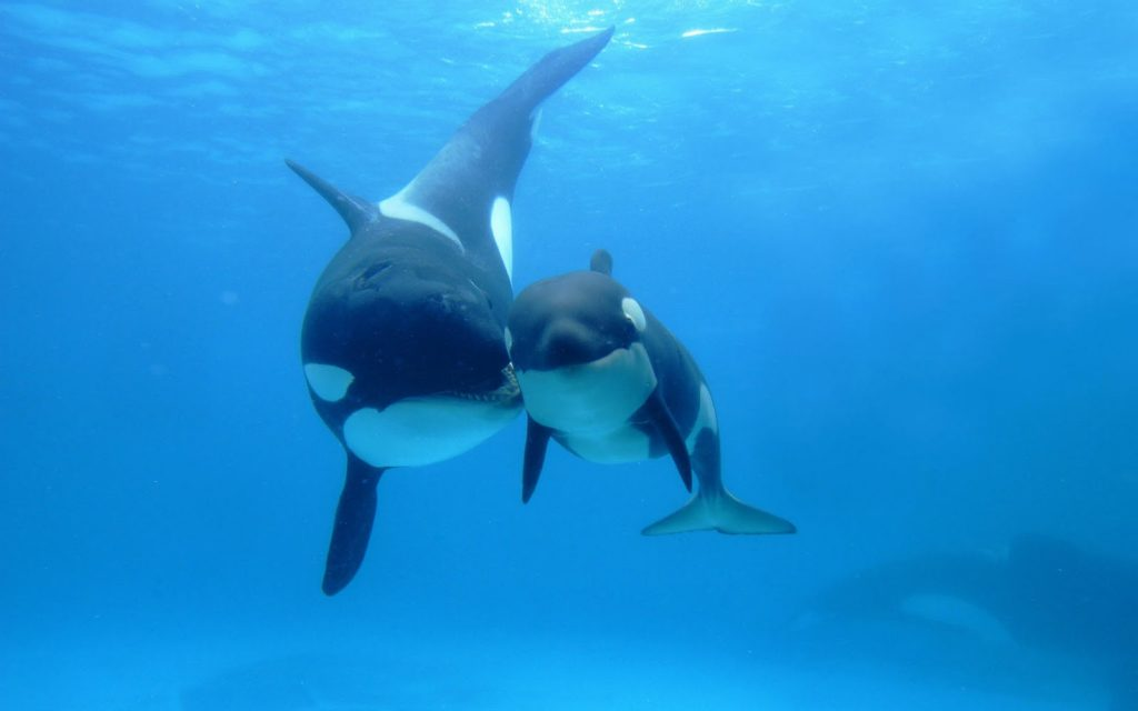 Killer whale, menopause, family, mother and baby whale