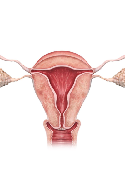 uterus, follicles, follicular, ovary